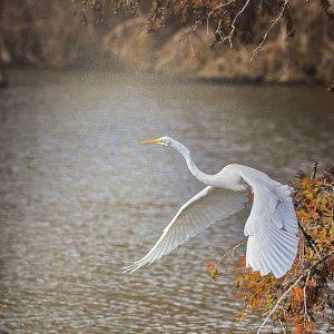 Flight of the Great White Egret